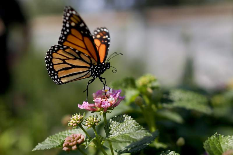 FILE - This Aug. 19, 2015, file photo, shows a monarch butterfly in Vista, Calif. The number of western monarch butterflies wintering along the California coast has plummeted to a new record low, putting the orange-and-black insects closer to extinction, researchers announced Tuesday, Jan. 19, 2021. A recent count by the Xerces Society recorded fewer than 2,000 butterflies, a massive decline from the millions of monarchs that in 1980s clustered in trees from Marin County to San Diego County. (AP Photo/Gregory Bull, File)