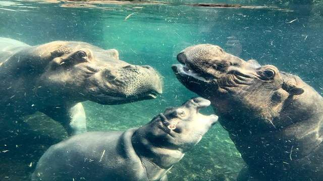 The world was introduced to Henry the hippo after premature baby hippo Fiona found fame.