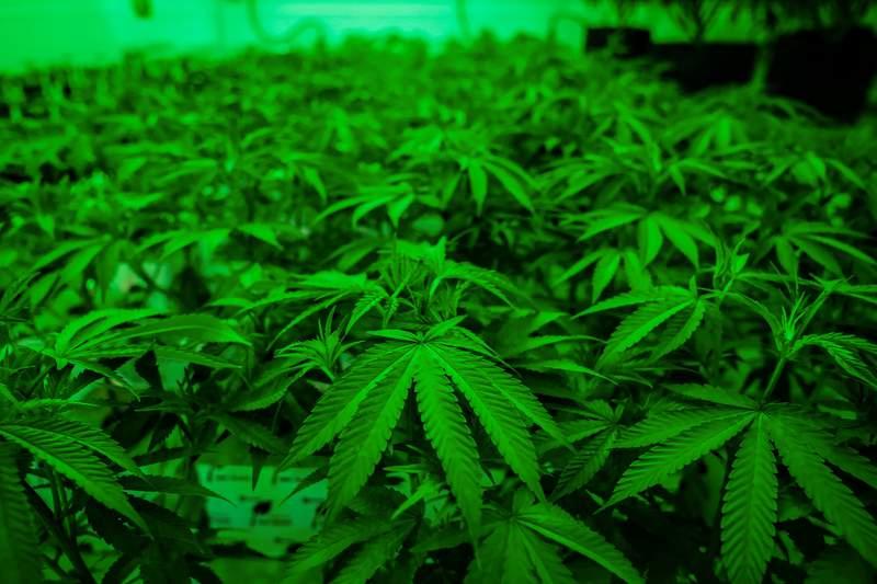 Newly planted marijuana plants at Texas Original Compassionate Cultivation Medical Marijuana facility in South Austin on April 30, 2021.