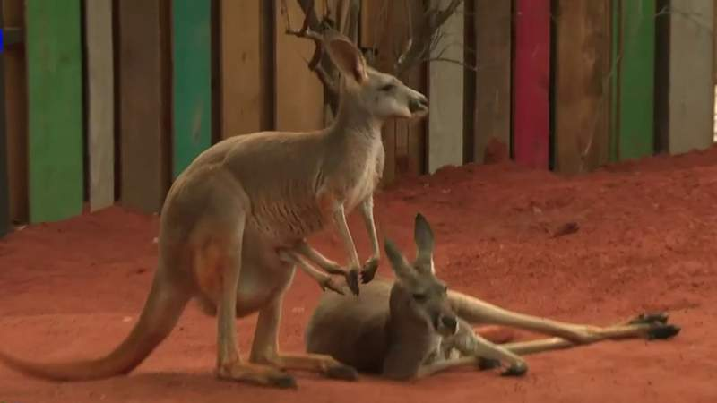 San Antonio Zoo's Kangaroo Krossing now open