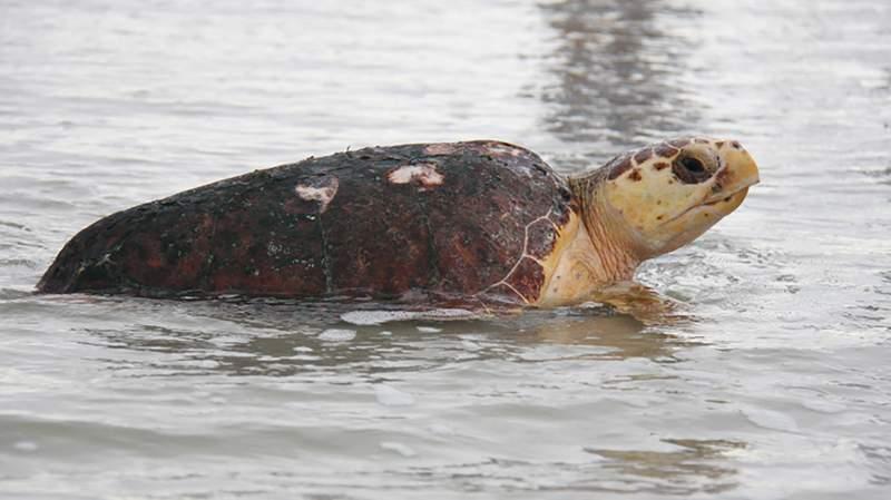 Sea turtles are thriving as coronavirus lockdown empties Florida beaches