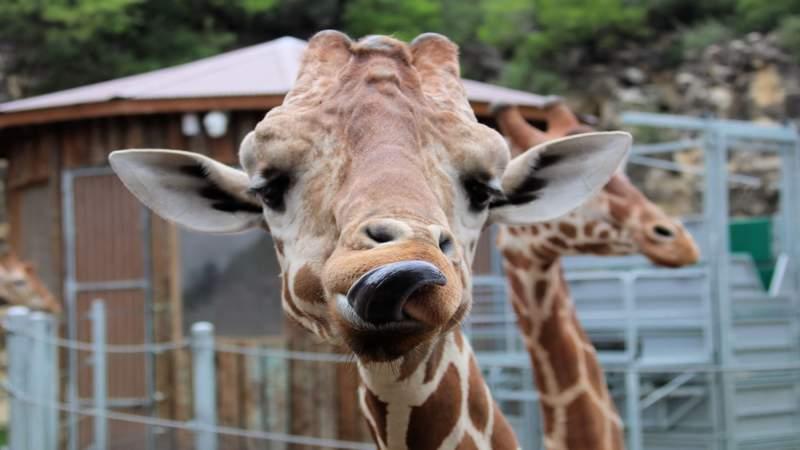 San Antonio Zoo announces reopening date