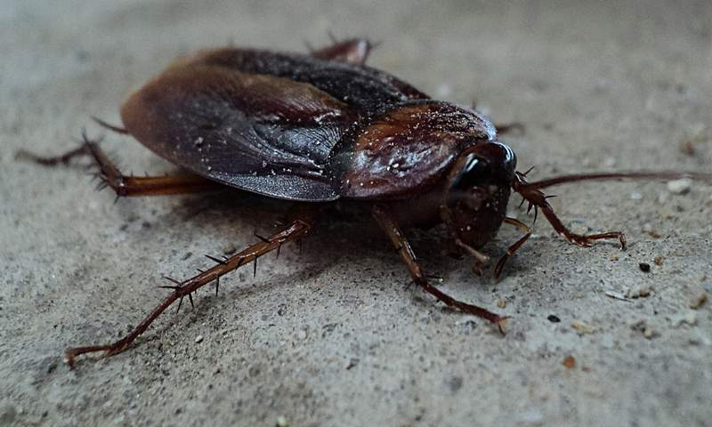 Cockroach (Photo via Pixabay)