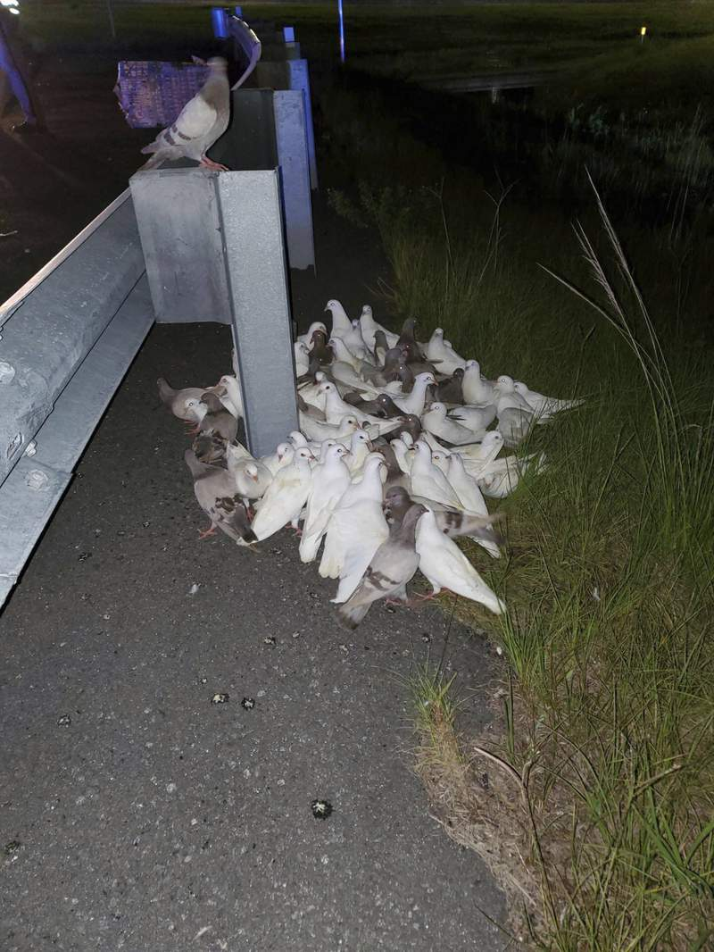 This photo provided by Volusia County Animal Control shows pigeons off an exit on Interstate 95, in Florida. A crate carrying 100 homing pigeons fell off a truck late Tuesday, June 29, 2021, near Daytona Beach. The exit had to be closed for three hours after the pigeons fell off and refused to move, posing a driving hazard to motorists, officials said. (Officer Alicia Dease/Volusia County Animal Control via AP)