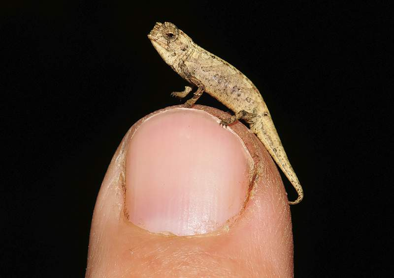 Picture taken in 2012 in Munich, Germany shows a newly discovered species of chameleon  which is a contender for the title of world's smallest reptile. Scientists from Madagascar and Germany called it Brookesia nana, said the male appeared is just 13.5 millimeters big. (AP Poto/Frank Glaw)