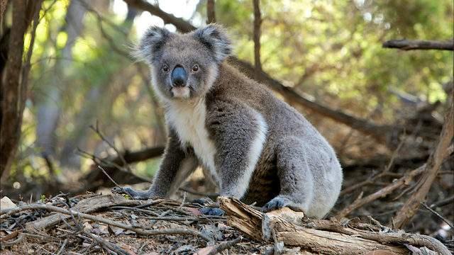 "Not the ""sexy"" koala, but a cute koala none the less."