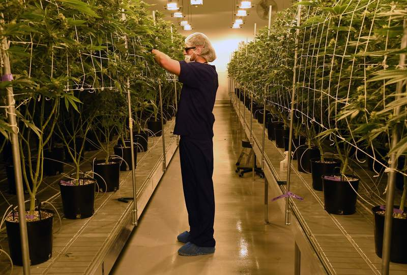 A marijuana cultivation facility in Las Vegas, Nevada.  (Photo by Ethan Miller/Getty Images)