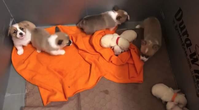 Corgi and labrador puppies at Lone Star Dog Ranch & Dog Ranch Rescue.