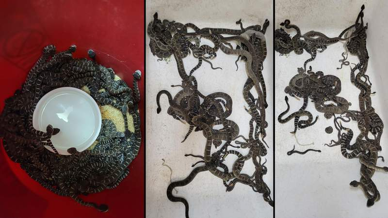 Rattlesnakes rescued from underneath California home.