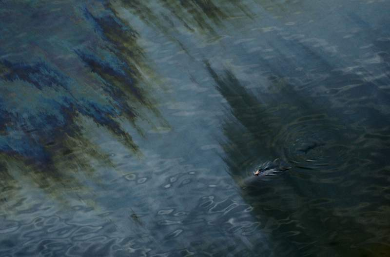 FILE - In this July 31, 2010 file photo, a dolphin is seen swimming through an oil sheen from the Deepwater Horizon oil spill off East Grand Terre Island, where the Gulf of Mexico meets Barataria Bay, on the Louisiana coast.  (AP Photo/Gerald Herbert, File)