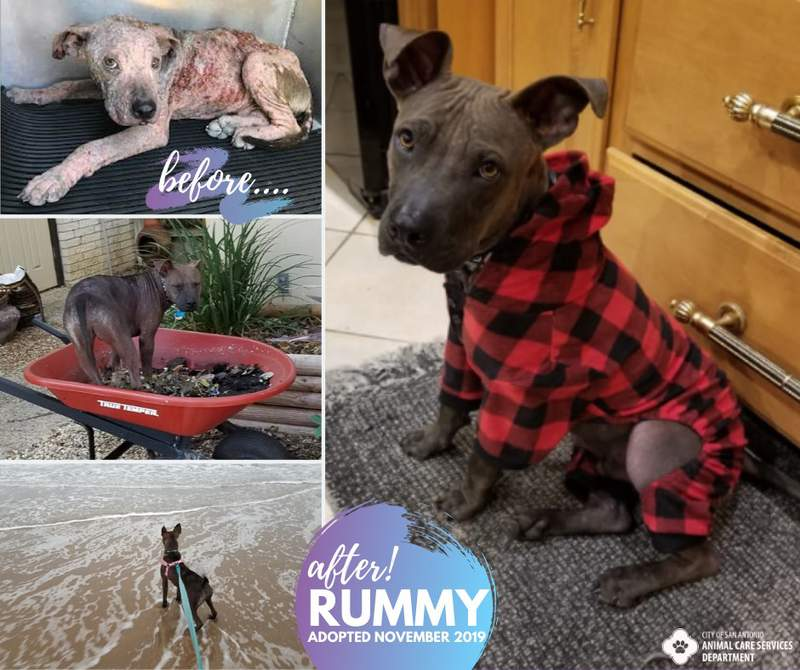 Rummy was adopted by a forever home after battling mange.