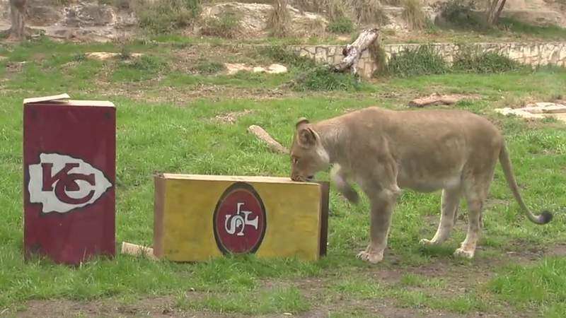 Lion at the San Antonio Zoo predicts winner of the Super Bowl